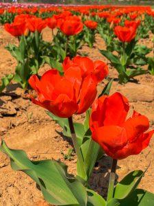 Tulipani Italiani_1