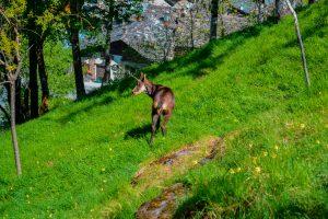 INTROD_PARC ANIMALIER_CAMOSCIO
