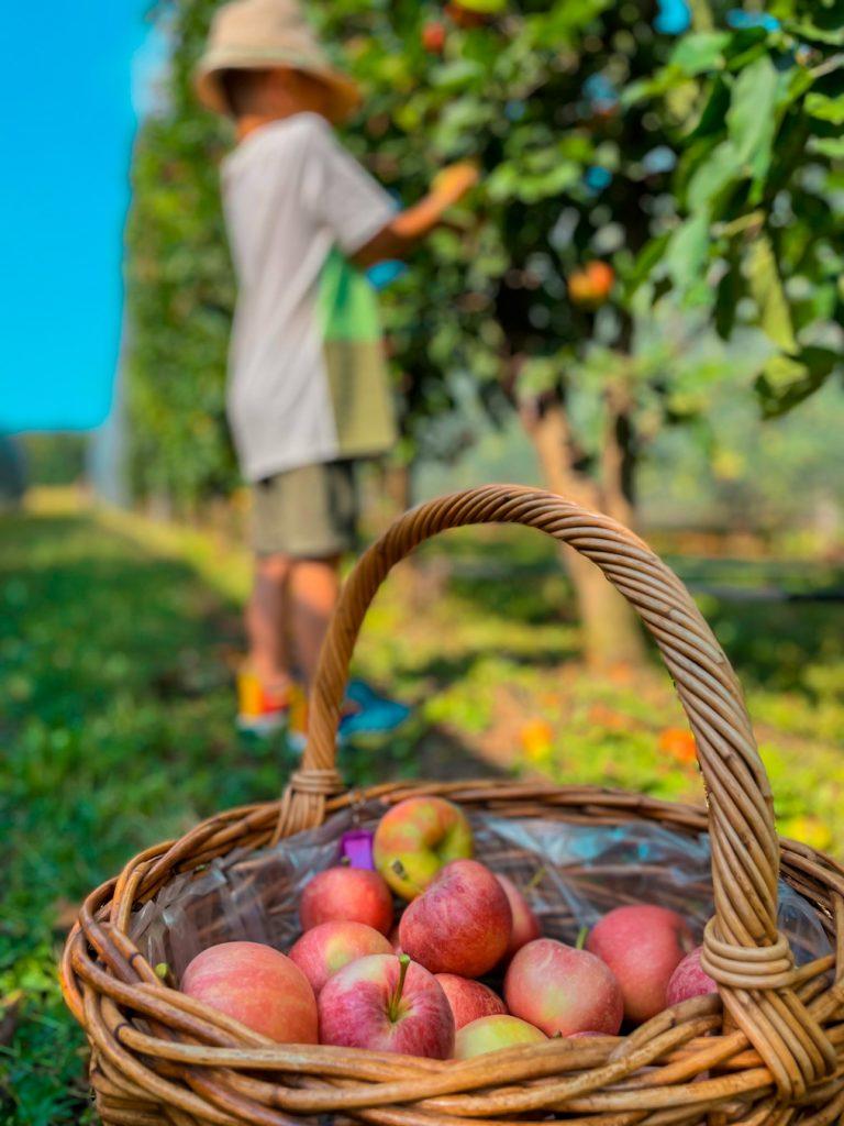 la raccolta delle mele_2